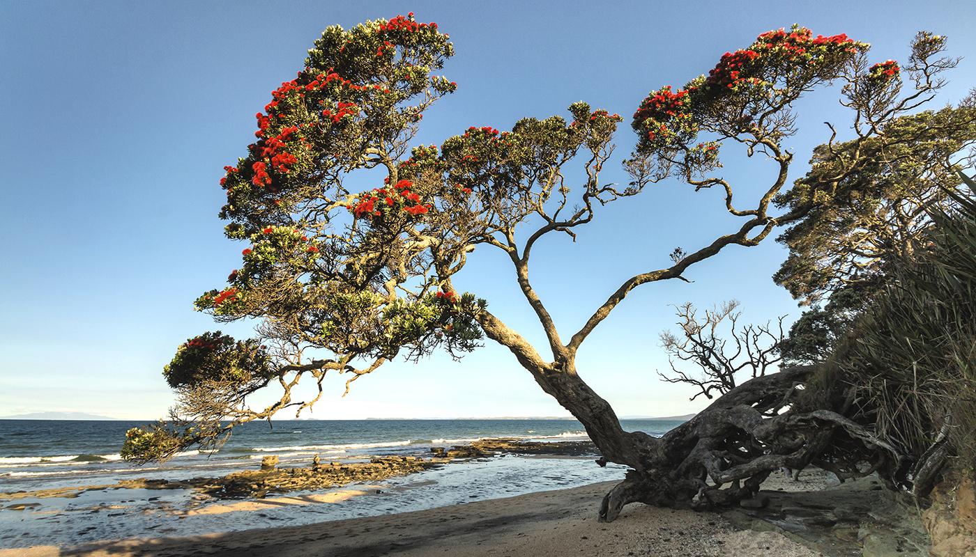 Pohutukawa tree growing above beach in New Zealand