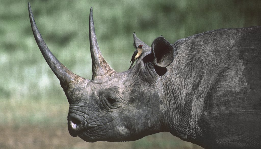 HEADER HERE The hook-lipped black rhino is critically endangered.