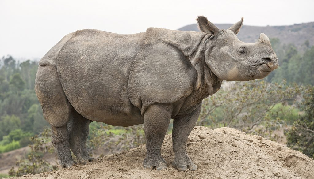 HEADER HERE Though the greater one-horned rhino's thick skin resembles armor, this species remains vulnerable.