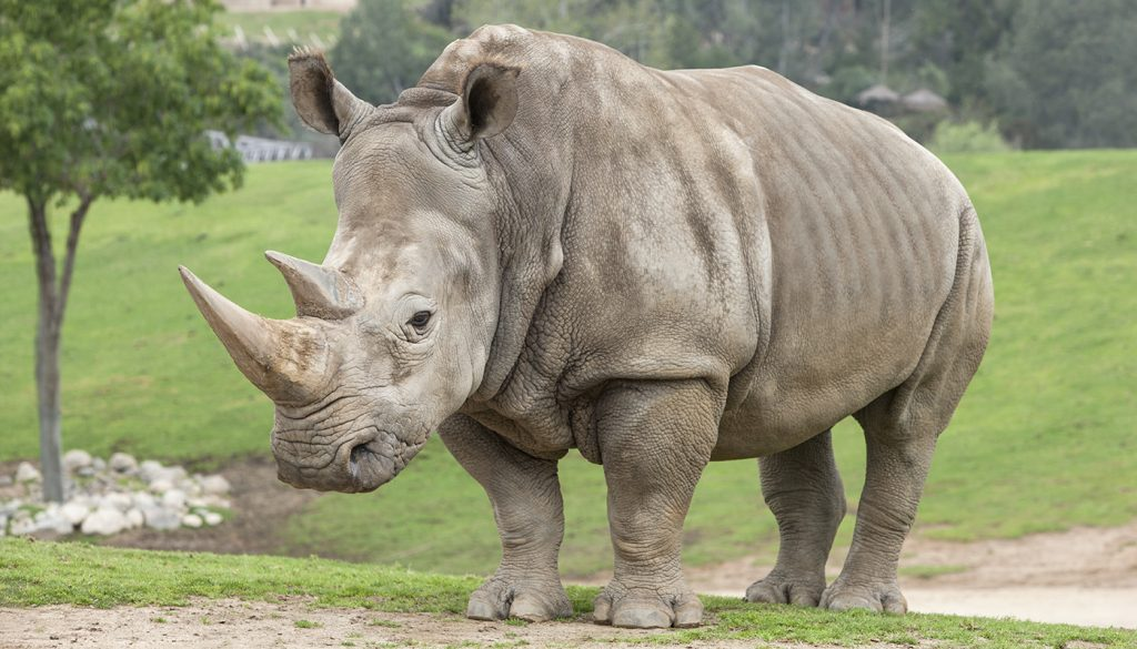 HEADER HERE The southern white rhinoceros was a conservation success story, but now it faces heavily armed, relentless poachers.