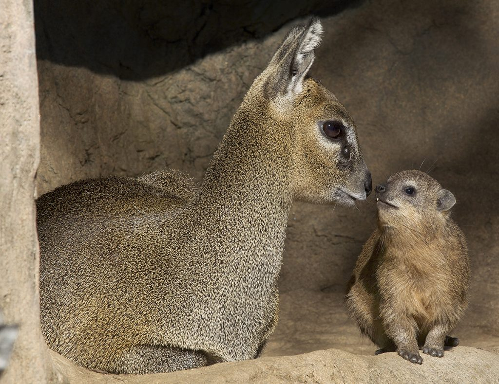 SEEING EYE-TO-EYE The kopje kids—like this klipspringer calf and baby rock hyrax—get along well and can be found sunning themselves together.