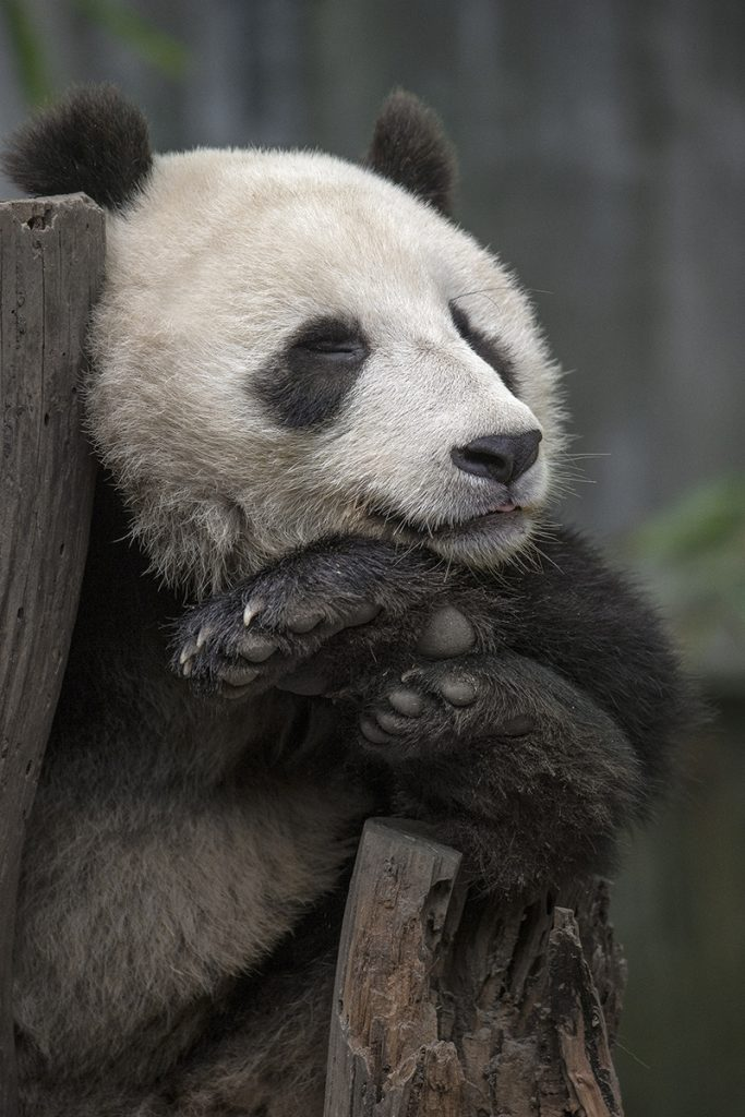 BEAUTY SLEEP Giant pandas get about 10 hours of sleep per day, a restful way to digest its low-calorie diet of bamboo.
