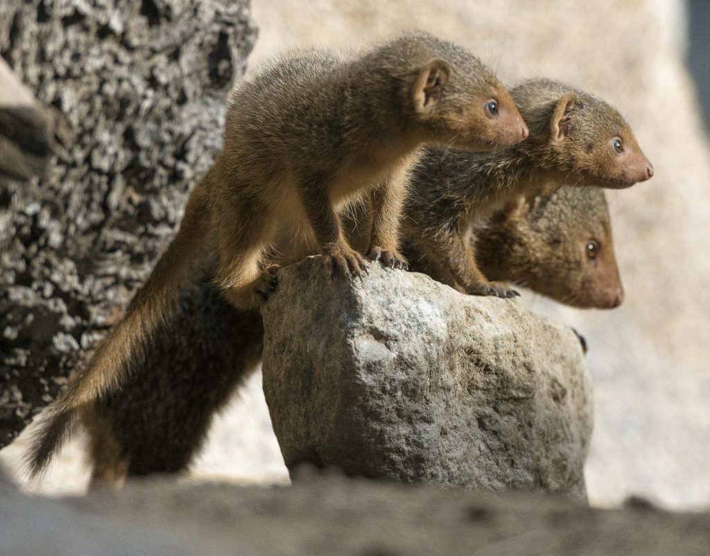 THREE'S COMPANY All for one and one for all! The dwarf mongoose babies are growing quickly and spending more time away from the grownups.