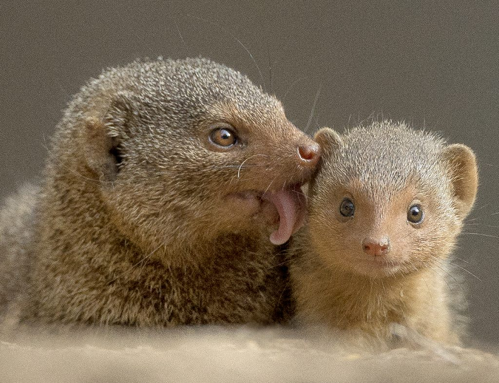 HOLD STILL While dwarf mongoose mothers are attentive, pup-care duties are shared by all members of the family group.
