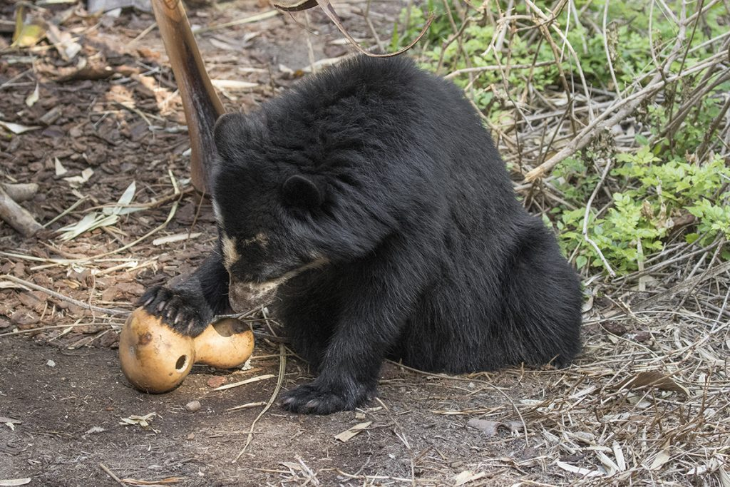 HEADER HERE Working on food puzzles is just one of the ways Alba spends her time. Inquisitive by nature, the busy Andean bear is always looking for new challenges.