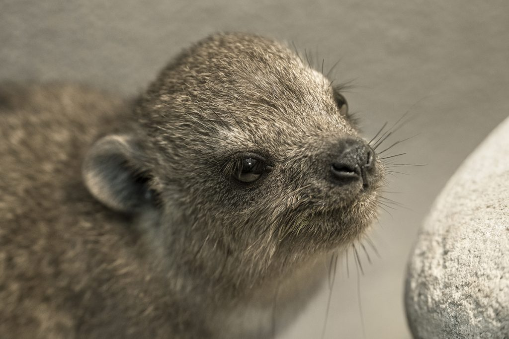 GET UP AND GO Baby hyraxes are precocious and can run just minutes after being born.