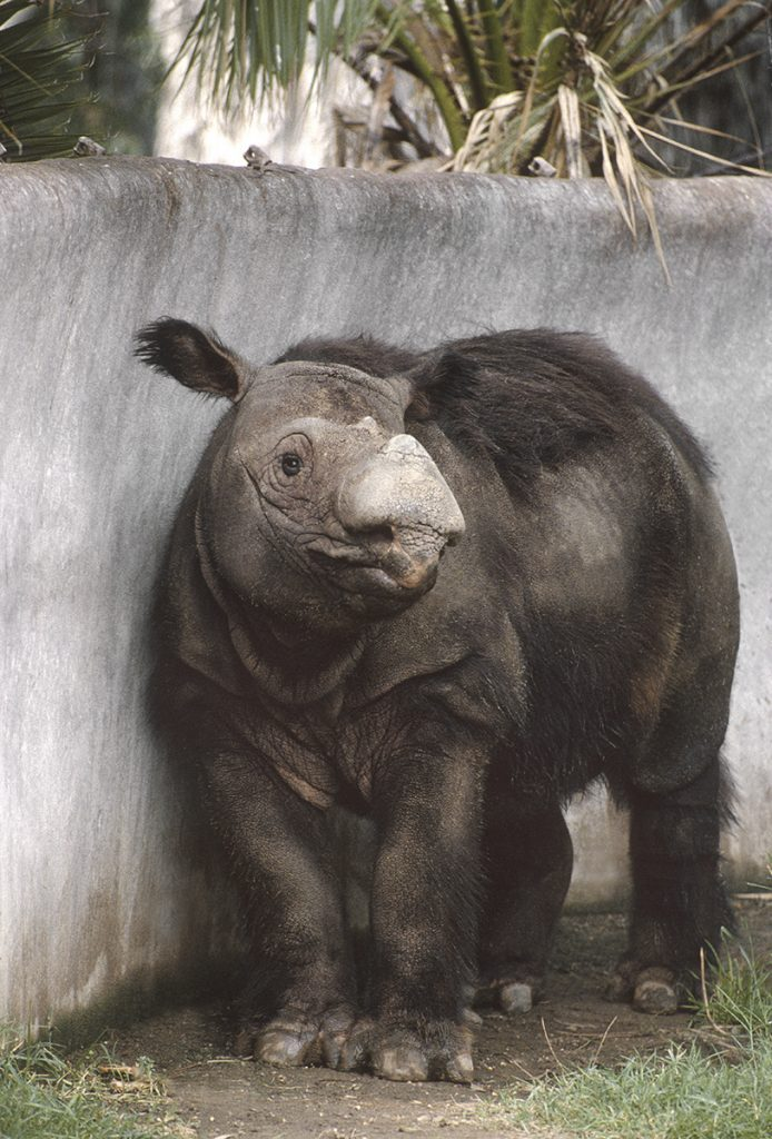 HEADER HERE Sumatran rhinos are the smallest and hairiest rhino species.