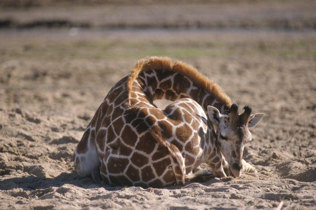 DROWSY DREAMER Giraffe are short on REM sleep as they only take from 10 to 60 minutes of shut eye in a 24-hour period.