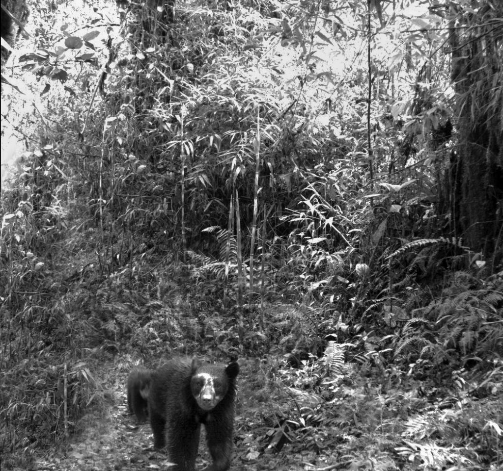 HEADER HERE Camera traps allow researchers to keep an electronic (and noninvasive) eye on bears in the wild. ( Courtesy of Botanical Research Institute of Texas)