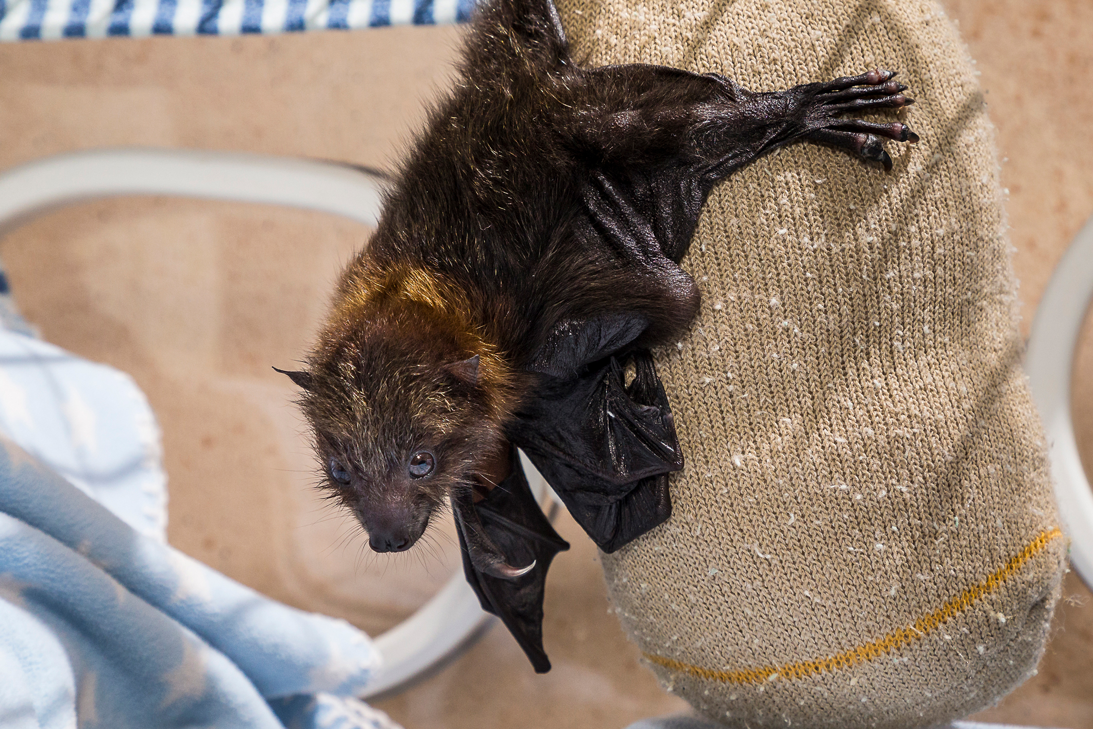 Critically Endangered Bat Pup Defies Odds at San Diego Zoo Safari Park