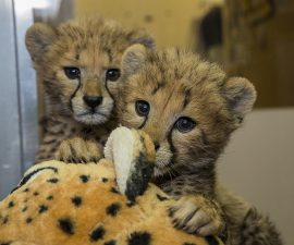 Cheetah Cub Sisters at San Diego Zoo Safari Park Will Be Weaned by the Weekend