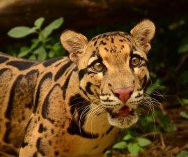 Learning More About the Little-understood Clouded Leopard by Maureen O. Duryee