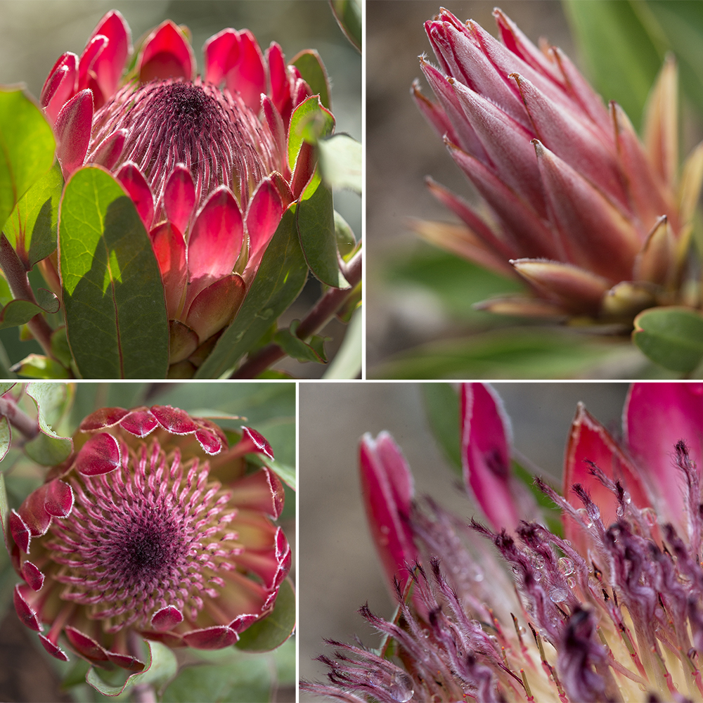 Fireworks Of The Fynbos Zoonooz