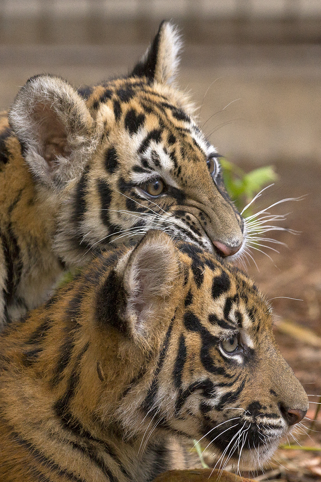 rescued tiger cub and companion settle into new home at the san