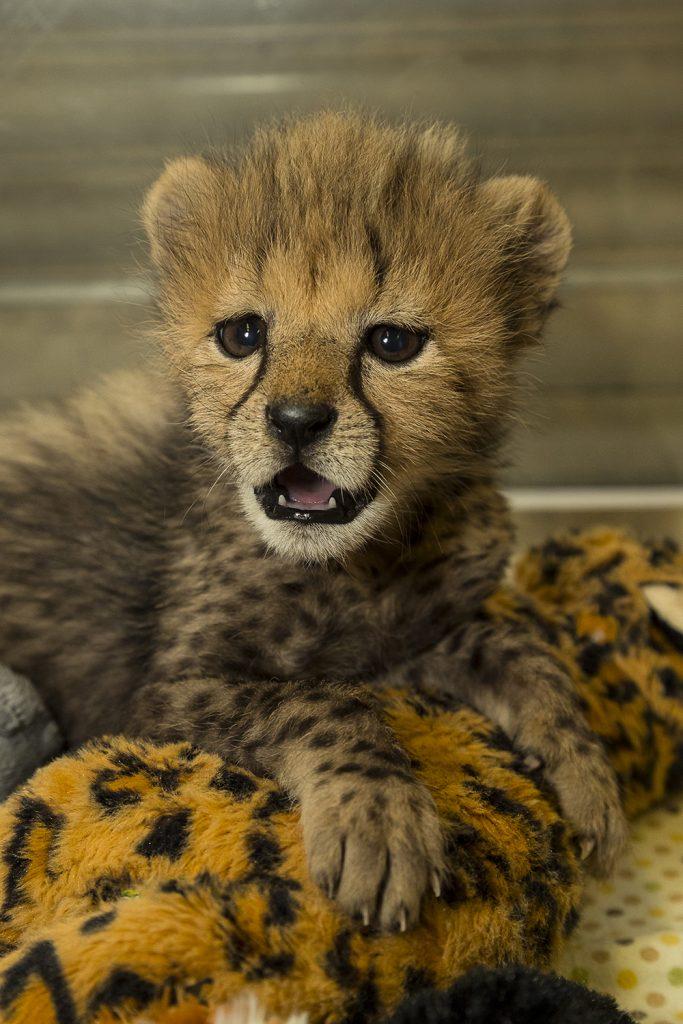 cheetah cub debuts at the san diego zoo safari park zoonooz