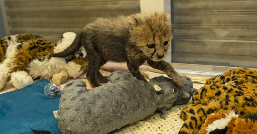 spot check an update on the park s cheetah cub zoonooz