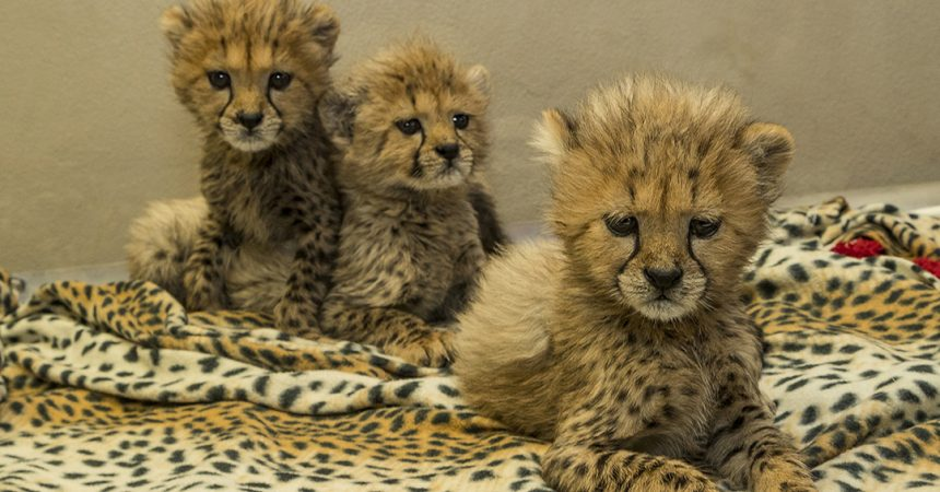 three cheetah cubs being cared for at safari park animal care center