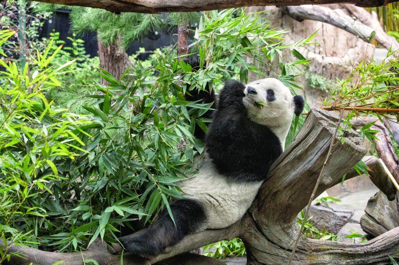 The Pandas Are Back – ZOONOOZ