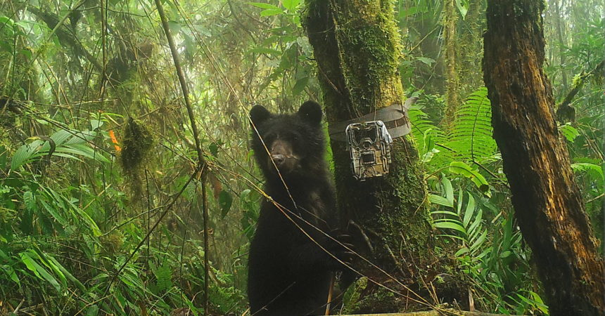Andean bear in forest