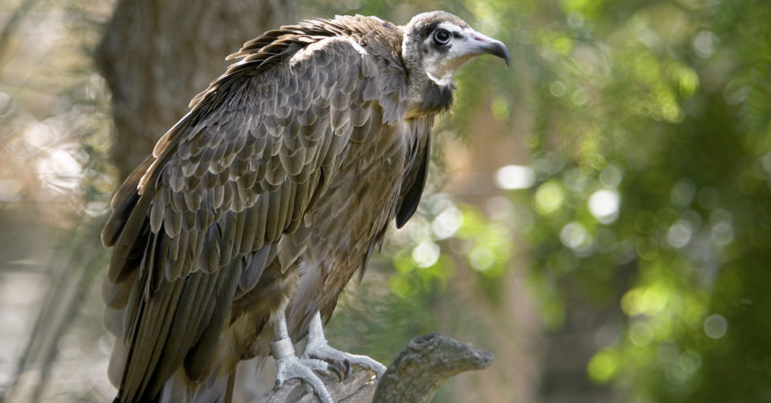 Hooded vulture perching