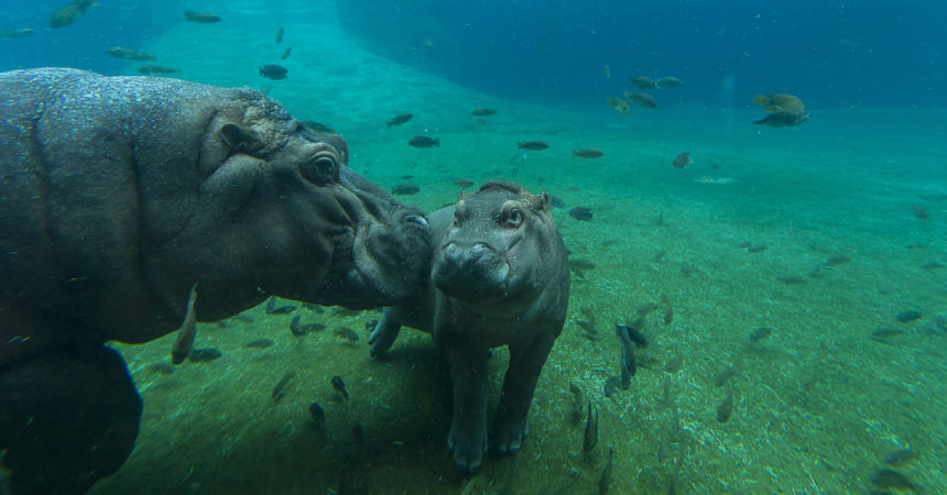 Hippo with baby