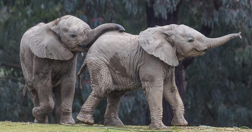 two elephant calves