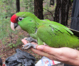 Endangered Thick-Billed Parrots Sport Miniature Tracking Devices
