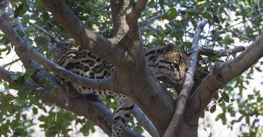 Ocelot in tree