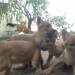 10 Dhole Puppies Arrive at the Safari Park