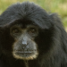 Birth of Endangered Siamang Provides Early Holiday Surprise